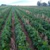 Fondos siguieron profundizando apuestas bajistas en soja a partir de las lluvias ocurridas en la Argentina