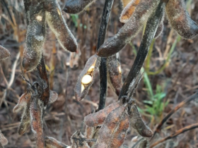 Efecto súper lluvias: industrias aceiteras ampliaron en hasta 35 puntos la tolerancia de recibo de grano dañado en soja
