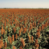 Fiesta granífera: el sorgo 2020/21 ya alcanzó un precio de 185 u$s/tonelada