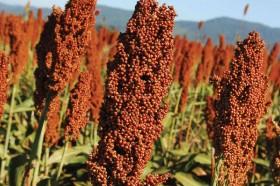 Fiesta granífera: el sorgo 2020/21 ya vale 25 u$s/tonelada más que el maíz temprano
