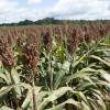 EE.UU. comenzó a exportar sorgo a China: autoridades argentinas están gestionando la apertura de ese mercado