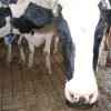 En agosto la leche blue llegó a un mínimo de 0,17 u$s/litro: tamberos argentinos son los que menos cobran en el mundo