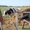 Se acabó el subsidio maicero para tambos: evalúan aplicar una ayuda universal que opere como respirador artificial durante el verano