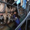 """El valor relativo de la leche sigue firme gracias a la destrucción del precio interno del maíz: una política de """"patas cortas"""""""