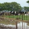 La otra inundación: por la suba del valor del maíz se licuó la recuperación del precio de la leche