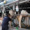Subió 5% el precio de la leche medido en moneda maíz: poco si se lo compara con el período de subsidios agrícolas forzosos