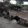 Tamberos piden condonación de deudas e impuestos para productores afectados por desastres climáticos