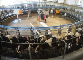 La devaluación jugó en contra: en el último año el valor relativo de la leche cayó un 10% con un precio del maíz subsidiado