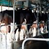 Febrero será un mes clave para los tambos: para compensar la suba del maíz se necesitarán al menos 2,55 $/litro de leche