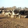 Los precios recibidos por los tamberos siguen indicando que la lechería argentina es solamente un negocio apto para grandes productores