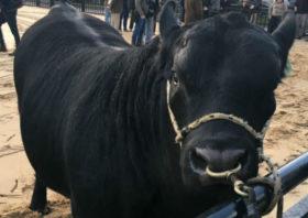 Gran avance: comienzan a usarse en la Argentina datos genómicos validados para seleccionar reproductores bovinos