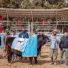 La necesidad de deshacerse de los pesos también está contribuyendo a afirmar los valores de la genética bovina