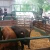 Valor agregado en origen: ya están disponibles los resultados de la prueba de toros 2016 del CREA Cabañas