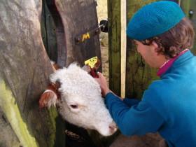 En los Uruguay los identificadores bovinos son gratuitos para los productores: la información generada por el sistema de trazabilidad no tiene uso tributario