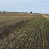 Comenzó a caer el precio del trigo 2016/17: demanda muy tranquila esperando un reventón de mercadería en cosecha