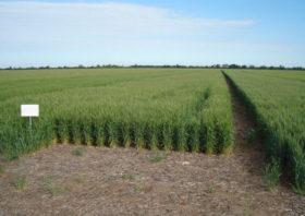 ¿Rendimiento o calidad?: el primer desafío por resolver para diseñar el negocio de trigo 2019/20