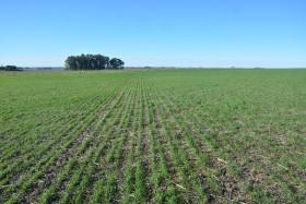 Hasta el lunes habrá tiempo ideal para terminar con la siembra de trigo: el martes regresan las lluvias en el norte de la zona pampeana