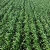 Todo listo para que los precios del trigo 2016/17 se terminen de desinflar en la cosecha: sólo un desastre climático puede revertir la tendencia