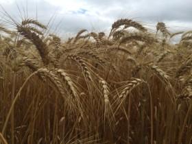 """Erize: """"En el segundo semestre de 2016 los productores pueden aspirar obtener 200 u$s/tonelada por el trigo"""""""