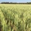 Documento presentado por Argentina ante Naciones Unidas asegura que promover la rotación con gramíneas es fundamental para reducir emisión de gases de invernadero