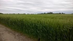 Los precios del trigo argentino 2016/17 comenzaron a reflejar la incertidumbre climática con un aumento de 10 u$s/tonelada