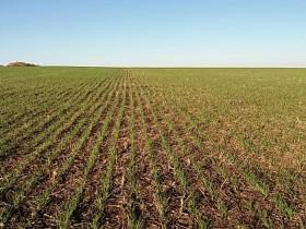 Por las lluvias excesivas está en riesgo el cumplimiento de la siembra programada de trigo 2017/18