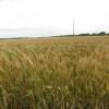Experimento argentino: trigo con precio de importación pero con la importación cerrada
