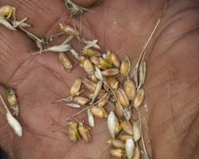 Cuidado con festejar antes de tiempo: se arruinó la cosecha de trigo del NOA por excesos hídricos