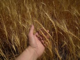La calidad importa: las primeras partidas de trigo 2016/17 entregadas en Rosario muestran una brecha de precios superior al 100%
