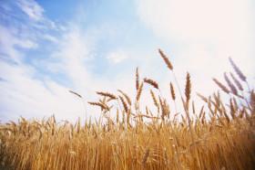 Basta de hablar de derecho de exportación en trigo: el término apropiado es derecho de pernada