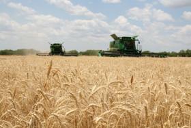 Quizás el mejor negocio del ciclo 2015/16: el valor del trigo de alta calidad duplica el precio del cereal condición cámara