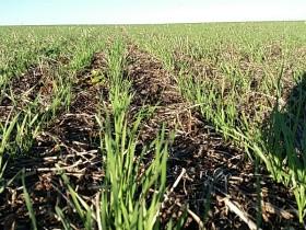 Se triplicaron las compras de trigo nuevo para asegurarse mercadería ante una eventualidad climática: el precio máximo llegó a 183 u$s/tonelada