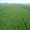 Apareció de golpe el precio de indiferencia del trigo 2013/14 para campo alquilado: se esperan anuncios oficiales