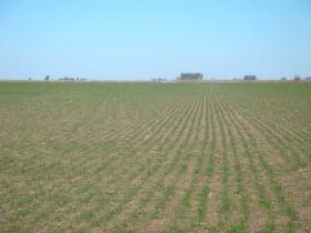 Alerta trigo: buena parte de la cosecha prevista del cereal podría arruinarse por excesos hídricos