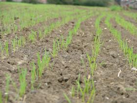Brasil no sólo sueña con el Mundial: también quiere lograr la mayor cosecha de trigo de su historia para reducir la dependencia del cereal argentino