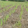 Alerta trigo: con un incremento del área de casi el 20% en 2014/15 podría haber un abarrotamiento de oferta en el sur de la región pampeana