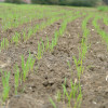Sigue cayendo el precio del trigo 2016/17 ante la expectativa de una súper oferta disponible en cosecha: apenas se registraron 180.000 toneladas