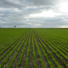 Con el derrumbe de precios esperados a cosecha la soja de primera se torna mucho más segura que el doble cultivo trigo/soja