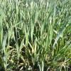 Alerta trigo: mañana se prevén heladas sobre el sur de la provincia de Buenos Aires
