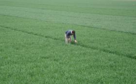 ¿Cuáles fueron los cultivares de trigo que mejor se comportaron ante enfermedades?