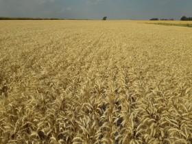 Primer informe de calidad de trigo bonaerense: en todas las regiones se obtuvieron partidas premium