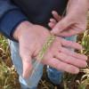 Efecto fusarium: comenzaron a reaccionar los precios del trigo 2015/16 ante la posibilidad de un desastre productivo