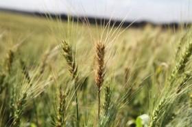 Alerta trigo: el domingo ingresa una nueva masa de aire frío sobre el sur bonaerense