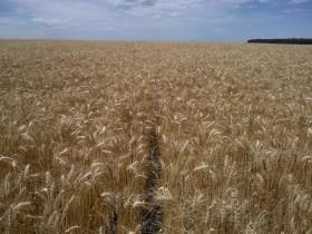 Apareció el mercado de calidad de trigo en plena cosecha con bonificaciones de hasta el 10%