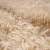 Hagan sus apuestas: el trigo tiene la mayor probabilidad de ser el cultivo más rentable del ciclo 2013/14