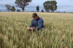 Las lluvias en el sector norte de la región pampeana llegaron en el momento justo para el trigo