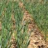 Más de un 22% del área triguera argentina se encuentra en estado hídrico regular a seco: se necesitan lluvias urgentes
