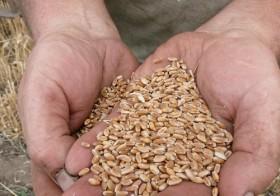 La declaración de semilla de uso propio de trigo 2016/17 superó el 40% del área sembrada
