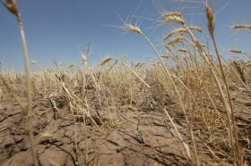 Todo indica que en el ciclo 2014/15 el precio internacional del trigo explotará: Argentina mirará desde la tribuna
