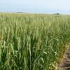Alerta trigo: el martes se prevé la formación de heladas en la principal región cerealera argentina